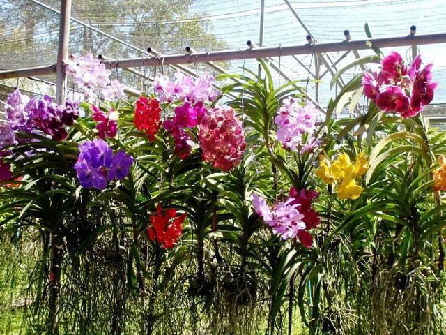 Выращивание орхидей на даче 331