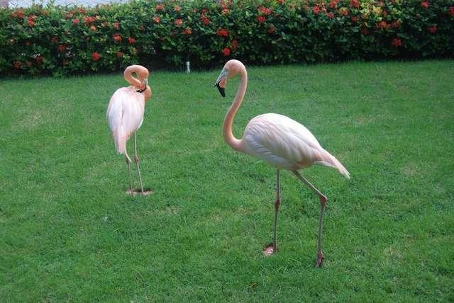 Фламинго свободно гуляют по всей территории отеля Iberostar
