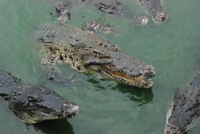Вот такие злые крокодилы водятся на ферме