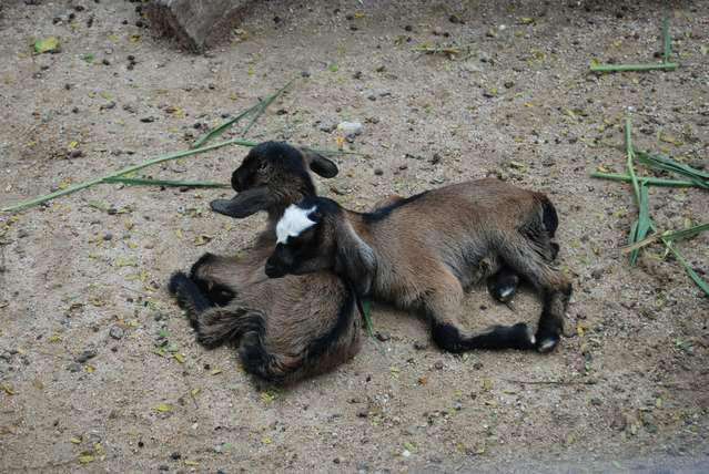 а вот только что родившимися козлятами можно