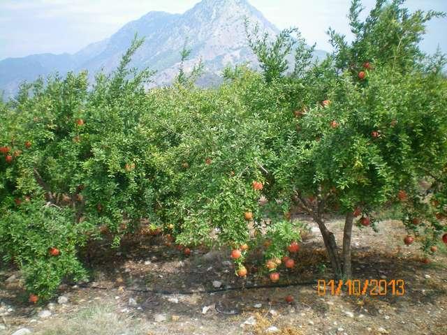 Гранатовые деревья