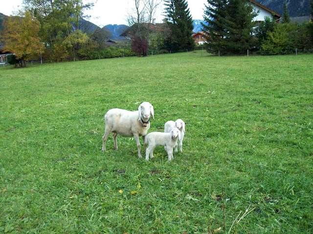 Семейство австрийских овечек