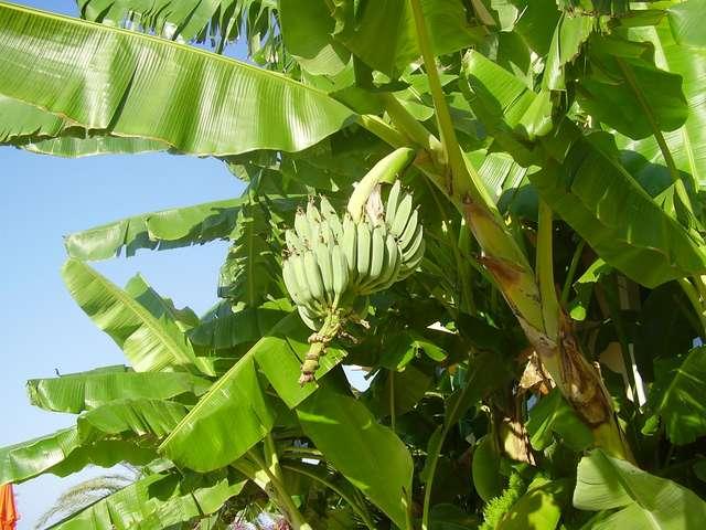 Реальные бананы на реальном дереве:-)