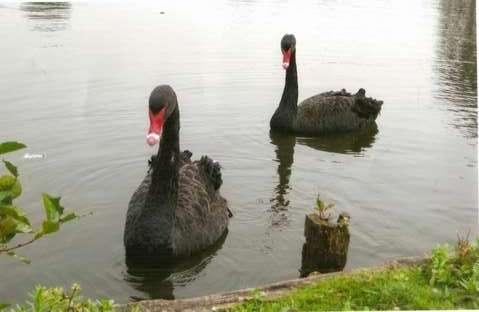 Черные лебеди на утином пруду