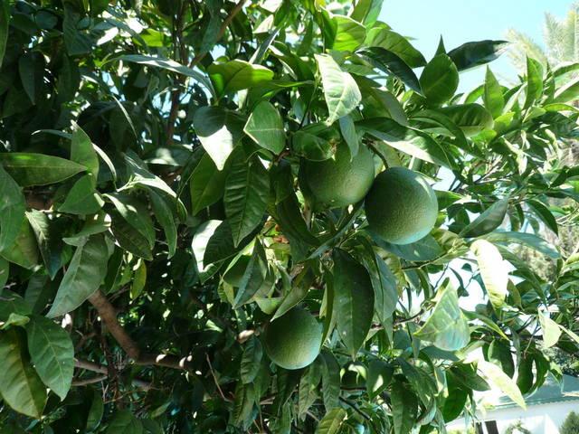 В августе апельсины ещё зелёные
