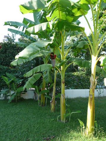 Банановое дерево на территории отеля