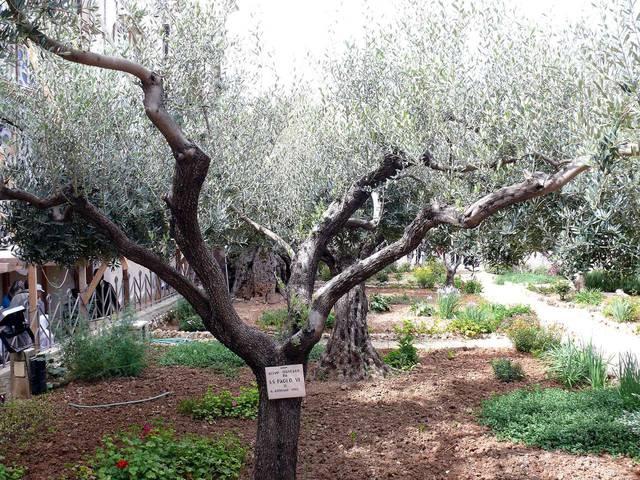 Тысячелетние оливы