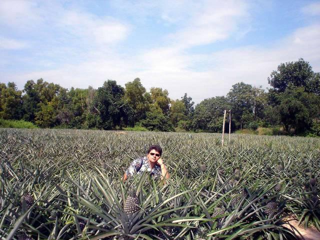 Ананасовая плантация