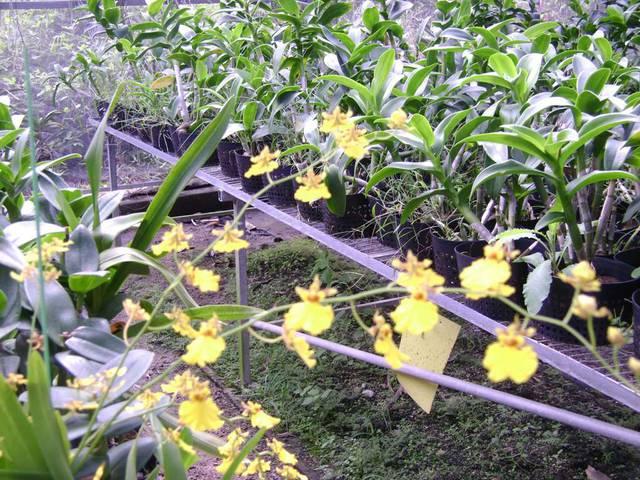 Орхидеи с цветками в форме принцессы