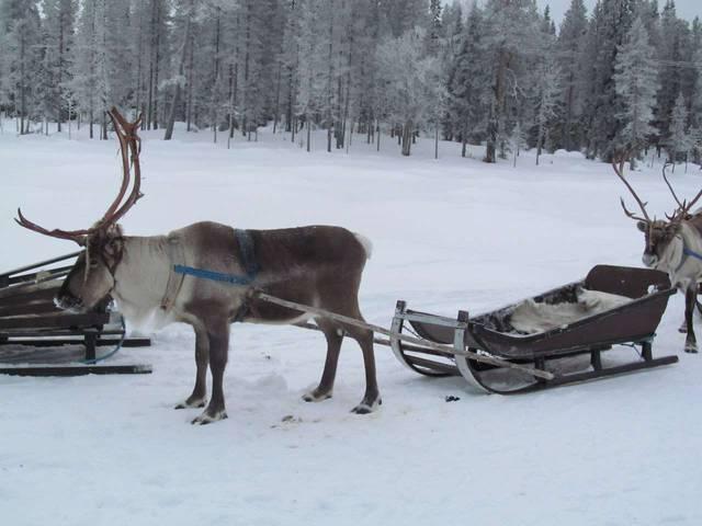 Финские оленьи упряжки