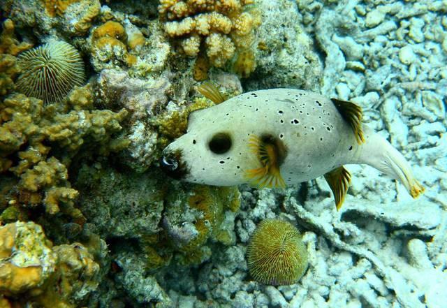 Аротрон (рыба-fugu)