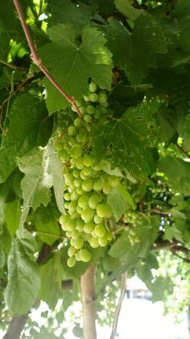 Зреет виноград
