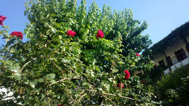 Розы на территории отеля